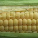 Jak wykorzystać mąkę kukurydzianą w nietypowy sposób?