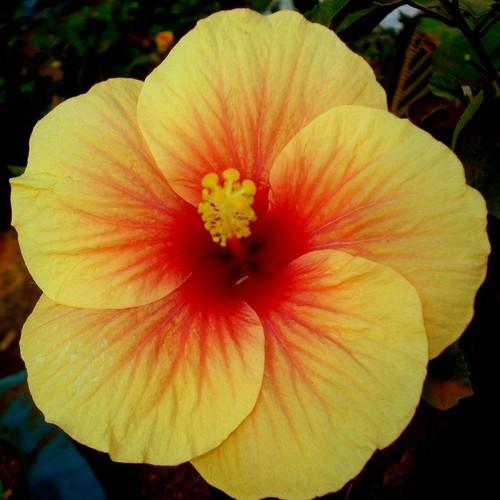 W jaki sposób należy pielęgnować hibiskus ogrodowy?