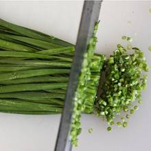 Jak uprawiać szczypiorek zimą?