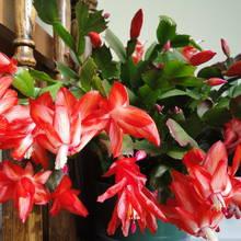 Sposób pielęgnacji kaktusa bożonarodzeniowego