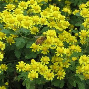 chrysanthellum indicum