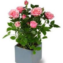 Jak dbać o róże miniaturowe?