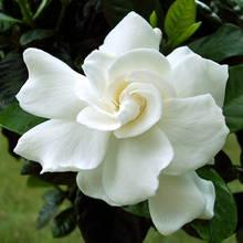 Jak dbać o gardenie?