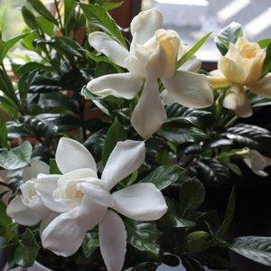 Gdzie przechowywać gardenie zimą i latem?