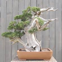Jak dbać o drzewko bonsai?