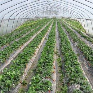 Jak prawidłowo posadzić truskawki?