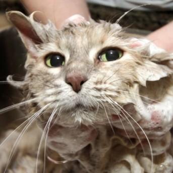 Jak samemu przygotować szampon do kąpieli dla kota?