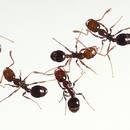 Jak pozbyć się mrówek domowymi sposobami?