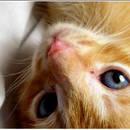 Jakie są objawy rui u kotki?