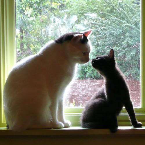 Jak oswoić swojego kota z nowym kotem?