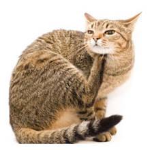 Co robić, gdy kot ma pchły?