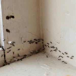 Jak możesz pozbyć się na zawsze mrówek?