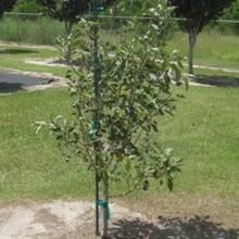Jak odpowiednio sadzić drzewka owocowe?