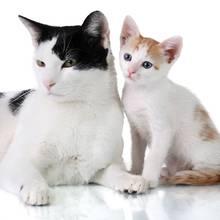 Jak sobie poradzić w czasie rui kotki?