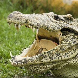 Zobacz krokodyle