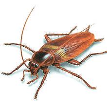 Jak walczyć z karaluchami?