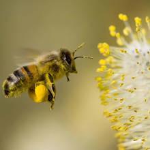 Właściwości zdrowotne pyłku kwiatowego