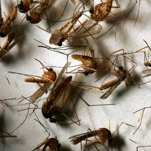 Narkoza dla komarów