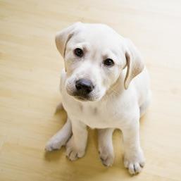 Jaką podłogę do domu powinien wybrać właściciel psa?