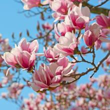 Jak należy sadzić magnolie?
