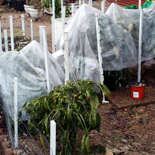 Jak ochronić rośliny przed przymrozkami?