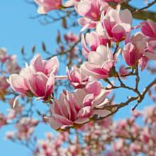 W jaki sposób pielęgnować magnolie?
