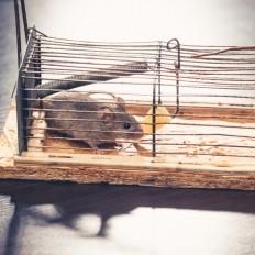 Jak poradzić sobie z myszą w domu?