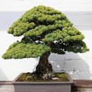 Jak sadzić i dbać o drzewko bonsai?