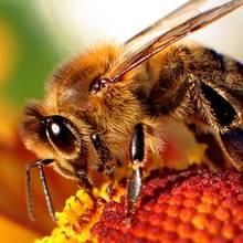Jak postępować w razie użądlenia przez pszczołę?