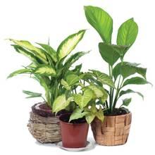 Jak dbać o rośliny doniczkowe w czasie zimy?