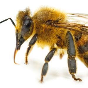 Jakich domowych sposobów można użyć w przypadku użądlenia przez pszczołę?