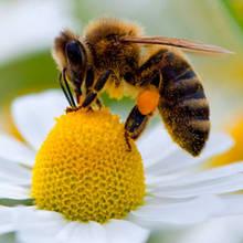 Jakie są objawy uczulenia na jad pszczeli?