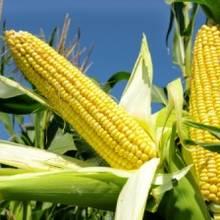 Sadzenie kukurydzy krok po kroku