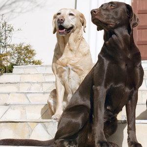Czy pies rasowy to dobry wybór?