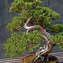 Co warto wiedzieć o przycinaniu drzewka bonsai?