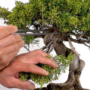 tree pruning proposal t1517 t1530