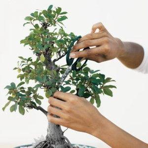 Przycinanie drzewka bonsai – kształtowanie korony