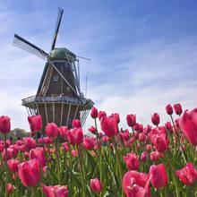 Co warto wiedzieć o pielęgnacji tulipanów?