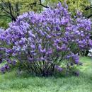 Co trzeba wiedzieć o sadzeniu azalii?