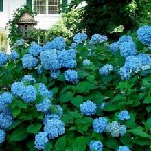 Co warto wiedzieć o przycinaniu i rozmnażaniu hortensji ogrodowej?