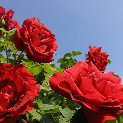 Co trzeba wiedzieć o rozmnażaniu róż z sadzonek?