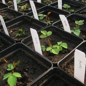 Ukorzenianie sadzonek zielnych