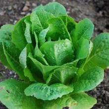 Sadzenie sałaty – krok po kroku