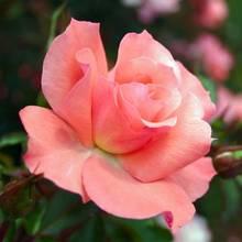 Sadzenie róż rabatowych – krok po kroku