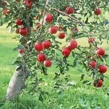 Co trzeba wiedzieć o sadzeniu jabłoni?