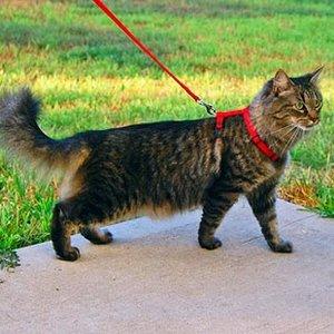Jak przyzwyczaić kota do chodzenia na smyczy?