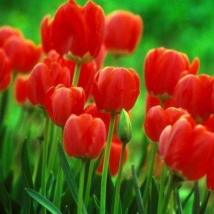 Jak uprawiać tulipany?