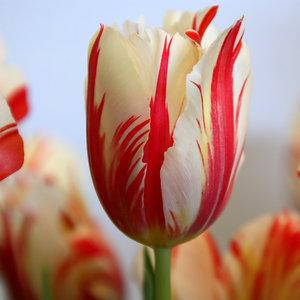 Stanowisko dla tulipanów