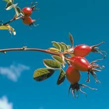 Napar z dzikiej róży – doskonały lek na przeziębienie