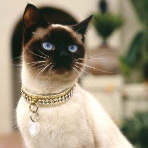 """Kot rasowy czy """"dachowiec""""?"""